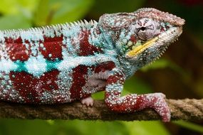 colored chameleon on a rope