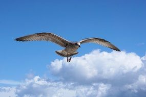 seagull over the Baltic Sea