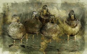 The picture with five ducks on water