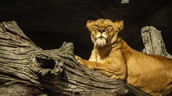 lioness on a tree trunk