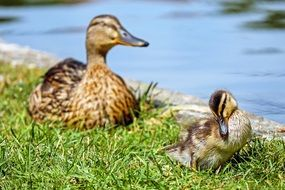 duck mother with duckling