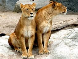 two lionesses in the zoo