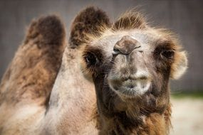 image of a bactrian camel