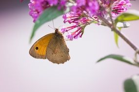 meadow brown butterfly on summer plant
