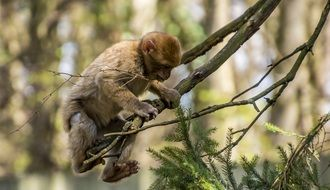 Young Barbary APE