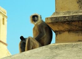 Monkey on the roof in India