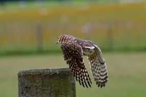 flying burrowing owl