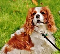 leashed cavalier king charles spaniel outdoor