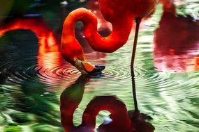 pink flamingo drinking from the lake