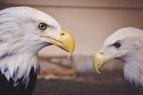 profiles of two powerful eagles
