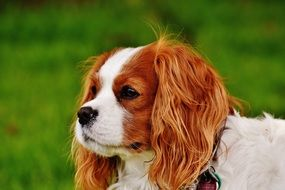Cavalier King Charles Spaniel looking into the distance