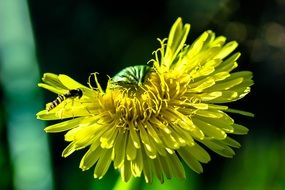 striped insect flies to a yellow dandelion