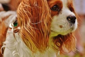 Cavalier King Charles Spaniel with brown and white fur
