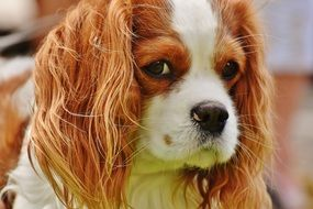 Cavalier King Charles Spaniel cute looks