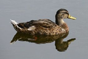 Duck reflection on Water Pond
