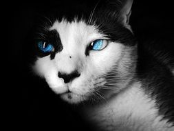 Siamese Cat with Colorized Blue Eyes, head close up