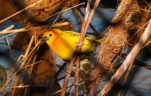 a yellow exotic bird on a branch