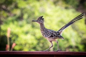 Roadrunner Bird close up