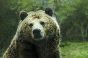 big grizzly bear lives in the forest