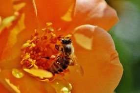 bee pollinating an orange flower