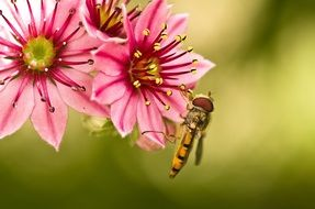 hoverfly sits on a pink flower