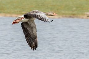 The flying greylag goose under Lake