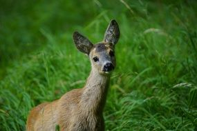 young ROE Deer in a natural Park