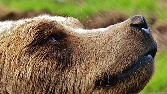 profile portrait of an european brown bear