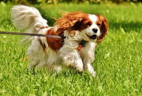 cavalier king charles spaniel running on the meadow