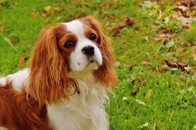 Cavalier King Charles Spaniel located in the park on the green grass