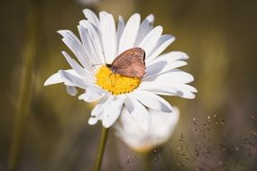 Butterfly on a Marguerite