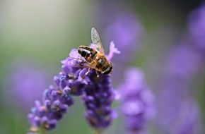 bee sitting on a lavender flower