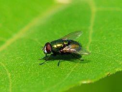 green shiny fly on a leaf