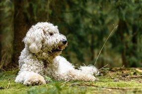 Goldendoodle, Dog laying on grass at Forest