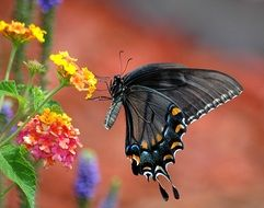 swallowtail Butterfly on a blurred background