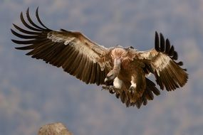 Vulture bird of prey