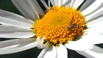 little bee is sitting on a daisy