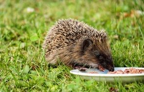 Hedgehog is eating