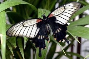 amazing black Butterfly