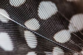 texture of spotted bird feather, Macro