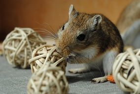 cute lovely Domestic Rodent