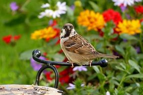 Passer-By Sparrow