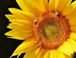 bees on bright Sun Flower