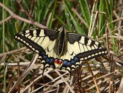 Colorful Papilio butterfly