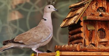 Dove on wooden Bird Feeder