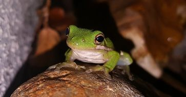 green tree frog on a stone