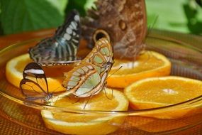 tropical butterflies feeding on orange slices close