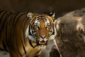 Photo of Siberian Tiger