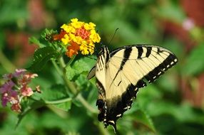 eastern tiger swallowtail on the flower