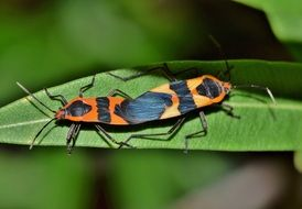 Large Milkweed Bug on green leaf macro